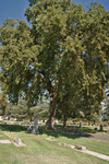 Thumb_historic-oak-tree-located-in-the-live-oak-cemetery-district