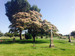 Thumb_cemetery-tree-in-bloom